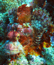 This Scorpionfish is  a colorful example of the surroundi... by Malia Beggs 